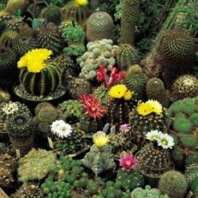 Cactus Crown Mix - 20 Seeds - Cacti Flower
