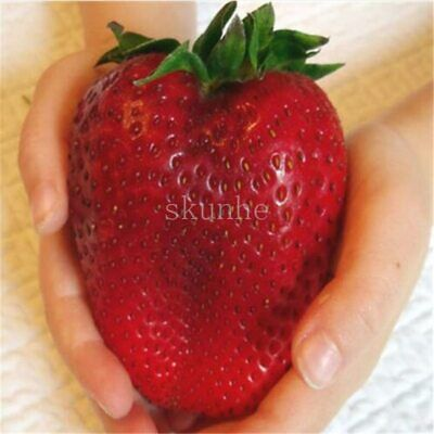 Super Giant Strawberry Fruit Seed Apple Sized 100 Seeds / Pack
