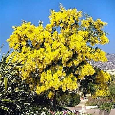 Silver Wattle Mimosa Tree Seeds (Acacia dealbata) 30+Seeds