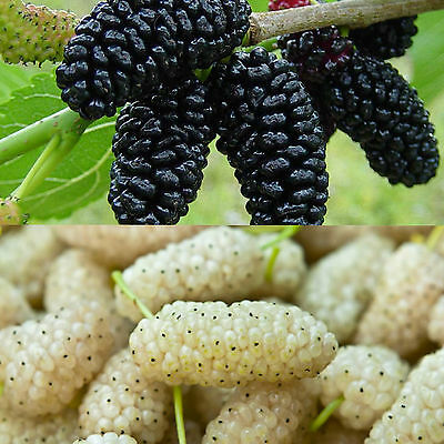 Black and white mullberry plants or cutings, worldwide international shipping