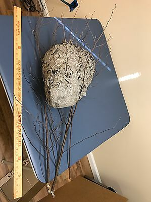 Bee Wasp Hornet Nest Hive w/ Tree Fragments Taxidermy School Project Man Cave