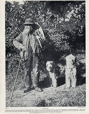 Old English Sheepdog Shepherd And His Dogs Lovely Old Original 1934 Dog Print