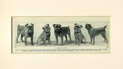 Brussels Griffon Group Glenwood Kennels 1934 Dog Print Ready Mounted To Frame