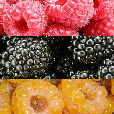 Red and Yellow raspberry, blackberry PLANTS or cuttings, worldwide