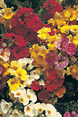 Nemesia 'Carnival Mixed' - 1200 Seeds Half - Hardy Annual