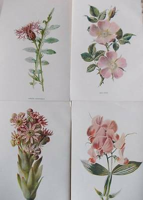 Four Antique Botanical Flower Print 1890s by Hulme - PINK - A54