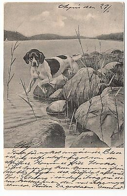 Pointer Dog At Work Old Vintage Picture Postcard From 1902