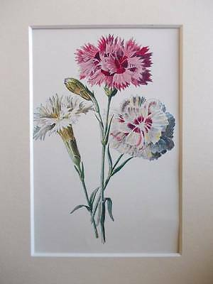 BORDER PINKS - Mounted Antique Botanical Floral Flower Print 1880s by Hulme