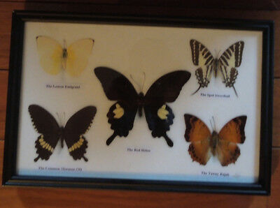 Professionally Framed And Mounted Collection Of 5 Rare Real Butterflies