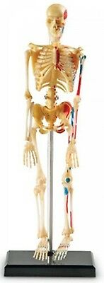 Learning Resources Anatomical Human Skeleton Educational Model BRAND NEW
