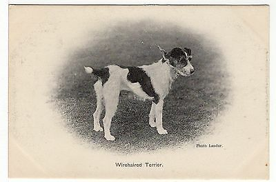 Jack Russell Wirehaired Fox Terrier Old  Dog Postcard