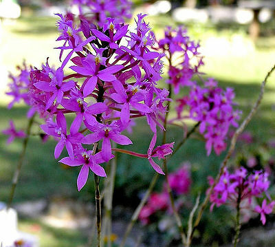ORCHID STEMS X 21 - ASSORTED COLOURS of CRUCIFIX ORCHID ( LARGE VARIETY )