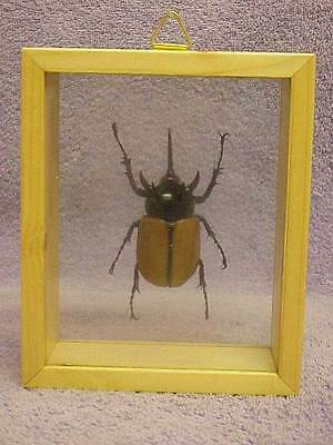 Taxidermy Insect Beetle Eupatorus Graciliconis Mounted in Display Box Free Ship