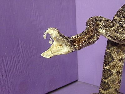 Real Western rattlesnake mount tanned hide man cave stuffed craft