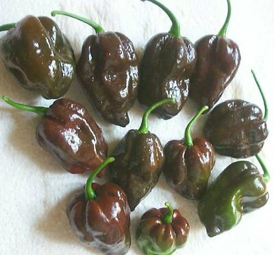 Pepper HOT Chocolate Habanero Great Heirloom Vegetable 300 Seeds BULK Wholesale