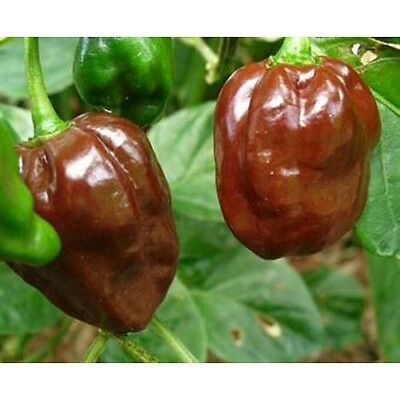 Pepper HOT Chocolate Habanero Great Heirloom Vegetable 35 Seeds