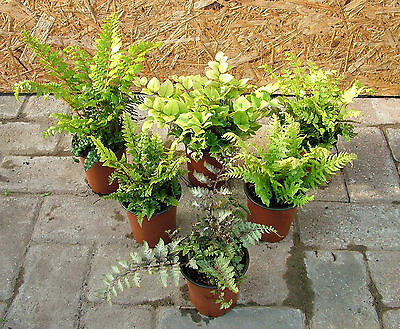 Garden Hardy Ferns for Damper Soils 6 to 100-from £3.00 to £4.75 each - free P&P