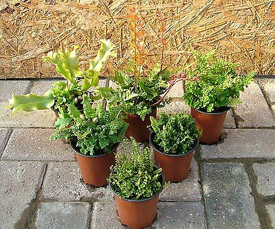 Evergreen & Winter Green Hardy Ferns 6 to 100-from £3.00 to £4.75 each. Free P&P