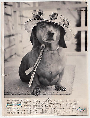 "DACHSHUND ""BRUNA GRETCHEN"" w HAT Dackel Sausage Dog Teckel * US Press Photo 1965"