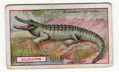 Vintage 1921 Wildlife Painting Card of a ALLIGATOR