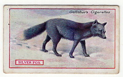 Vintage 1921 Wildlife Painting Card of a SILVER FOX