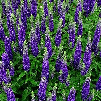 Speedwell Royal Candles Ground Cover Seeds (Veronica Spicata) 50+Seeds