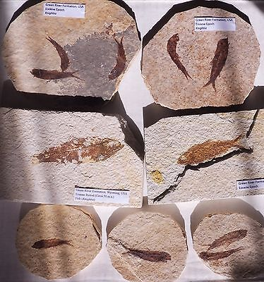 Knightia Fossil Fish (Choose your own) - Wyoming, USA - Eocene Period