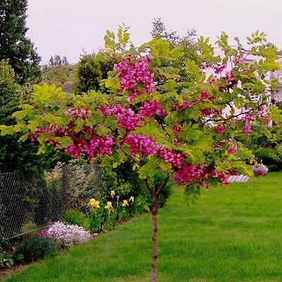 Rose Locust Tree Seeds (Robinia hispida fertilis) 15+ Seeds