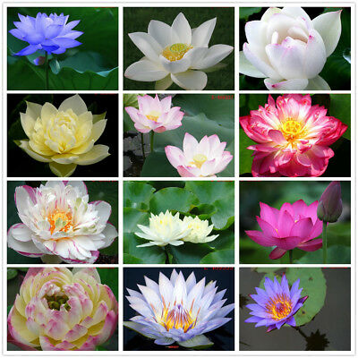 10 Seeds Lotus Bowl Water Lily Nelumbo Nymphaea Pond Plants Flower Home Garden