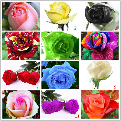 Rose Seeds x 100  8  colours UK Seller Home and Garden rose plants