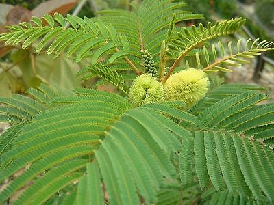 Albizzia/Albizia lopantha Paraserianthes lophantha Cape Wattle Mimosa 15 Seeds