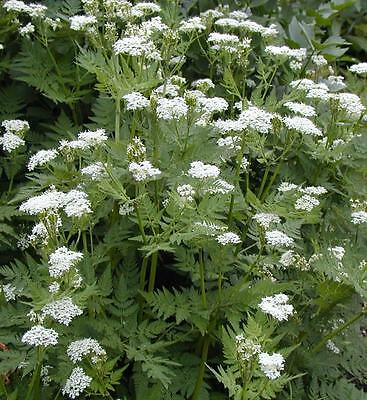 Myrrhis odorata Sweet Cicely aniseed perennial herb plant ground cover 9cm pot