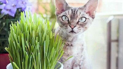cat grass seeds 0.35 Once