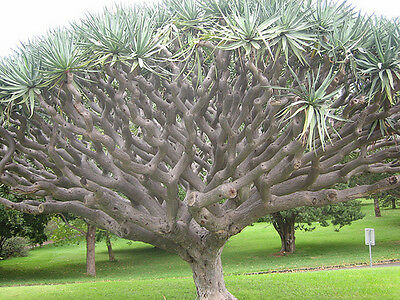 Dracaena draco Dragons Blood Tree Succulent 15 seed Canary Islands