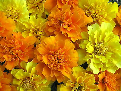 Mixed Marigold Seeds, Bulk Seeds, French Marigolds, Non-Gmo Heirloom Seeds 500ct
