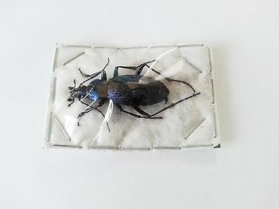 Carabus (Coptolabrus) smaragdinus....An excellent example of this type....