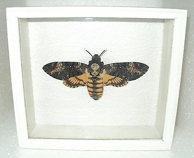 Real framed DEATH'S HEAD Moth in the movie silence of the lambs!!!
