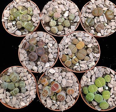 LITHOPS - LIVING STONES  8 x 5.5cm pots of DIFFERENT NAMED TYPES. Min 50 plants!