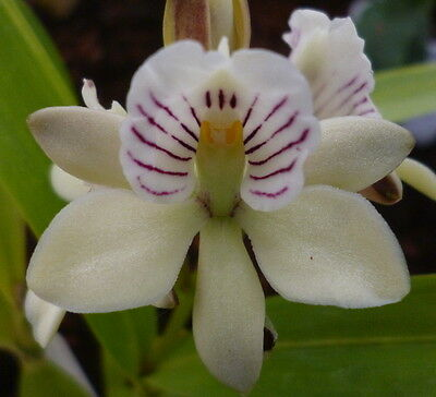 Prosthechea radiata - flowering sized species orchid