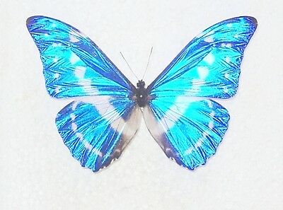 Morpho cypris cypris from Colombia.