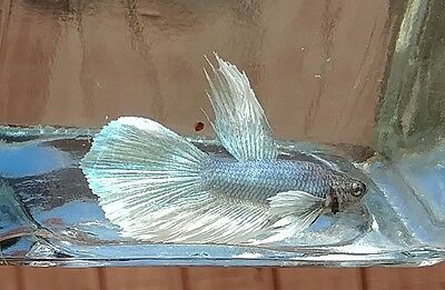 Male Dumbo Ear Betta 4