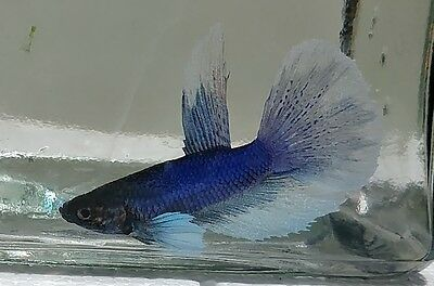 Male Dumbo Ear Betta 2