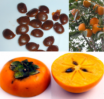 10 fresh tropical orange Persimmon Sharon tree/plant/fruit seeds from Asia