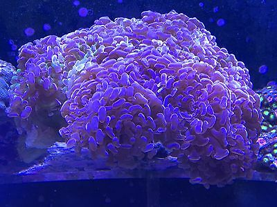 Marine Branch Hammer Approx 20 Heads Coral  Lps Not Soft Coral Stunning
