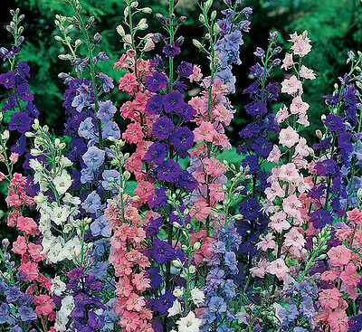 Larkspur Seeds, Giant Imperial Mix, Heirloom Flower Seeds, Non-Gmo, Annual 75ct