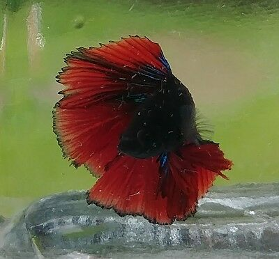 Male Double Tail Betta 5
