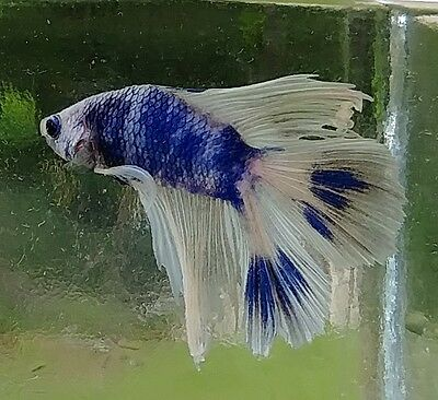 Male Double Tail Betta 6