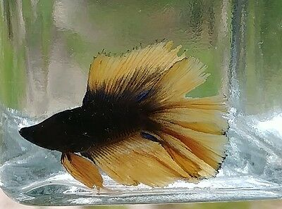 Male Double Tail Betta 10