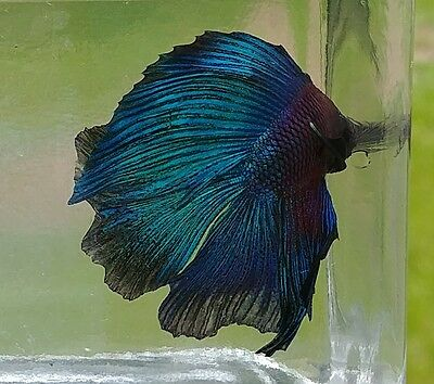 Male Double Tail Betta 16