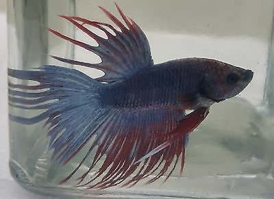 Male Crowntail Betta (7)